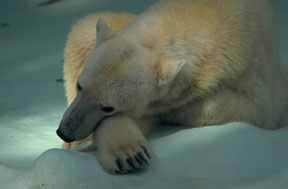 polarbear polarbear.jpg